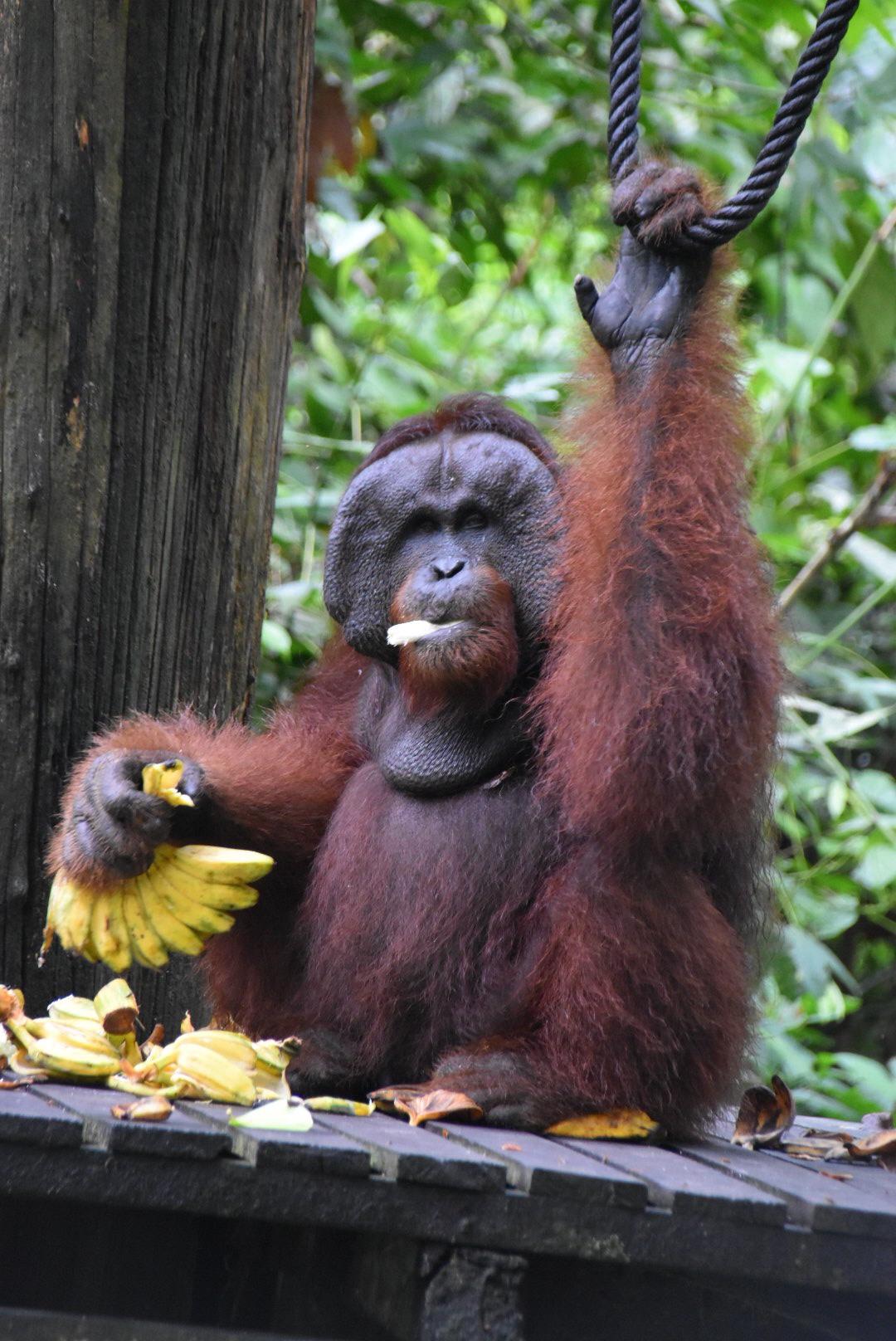 Orang oetan, Borneo, Maleisië