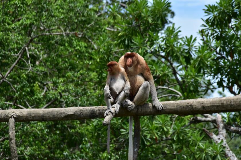 Neusapen, orang belanda, Maleisië, Borneo